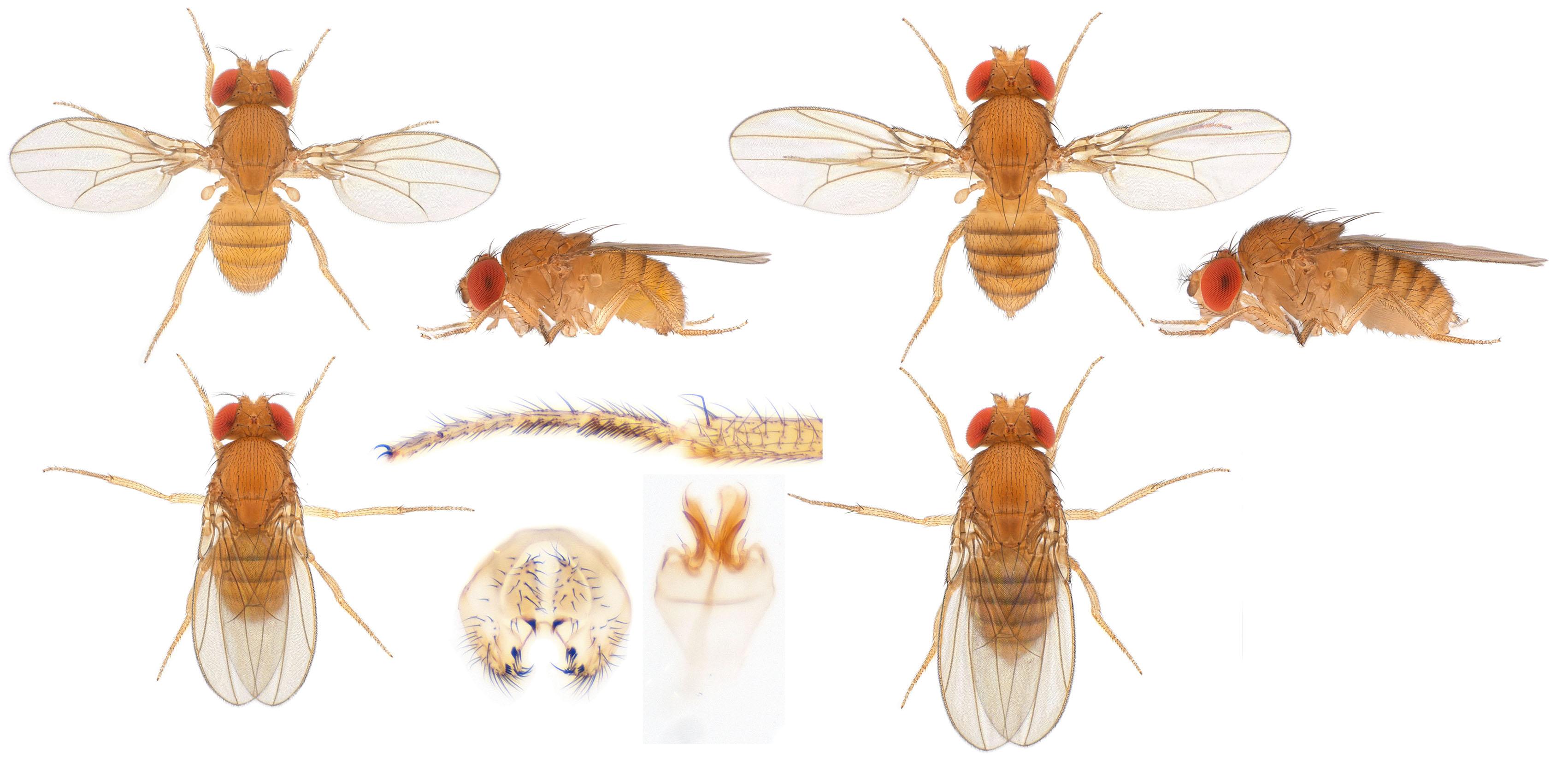 Drosophila (Sophophora) ananassae-NCBSisofemale line02_small