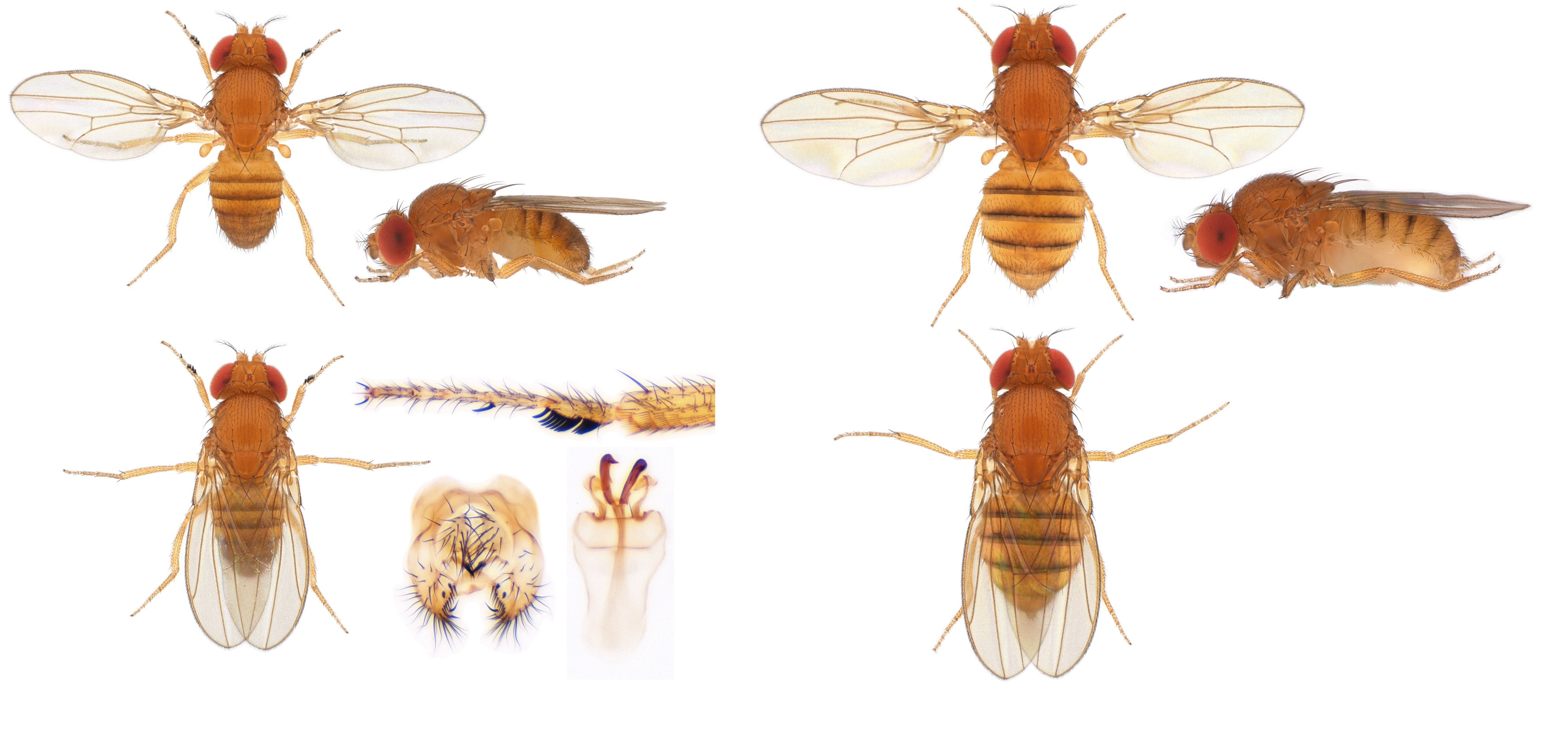 Drosophila (Sophophora) bipectinata-NCBSisoFline01_plate_small