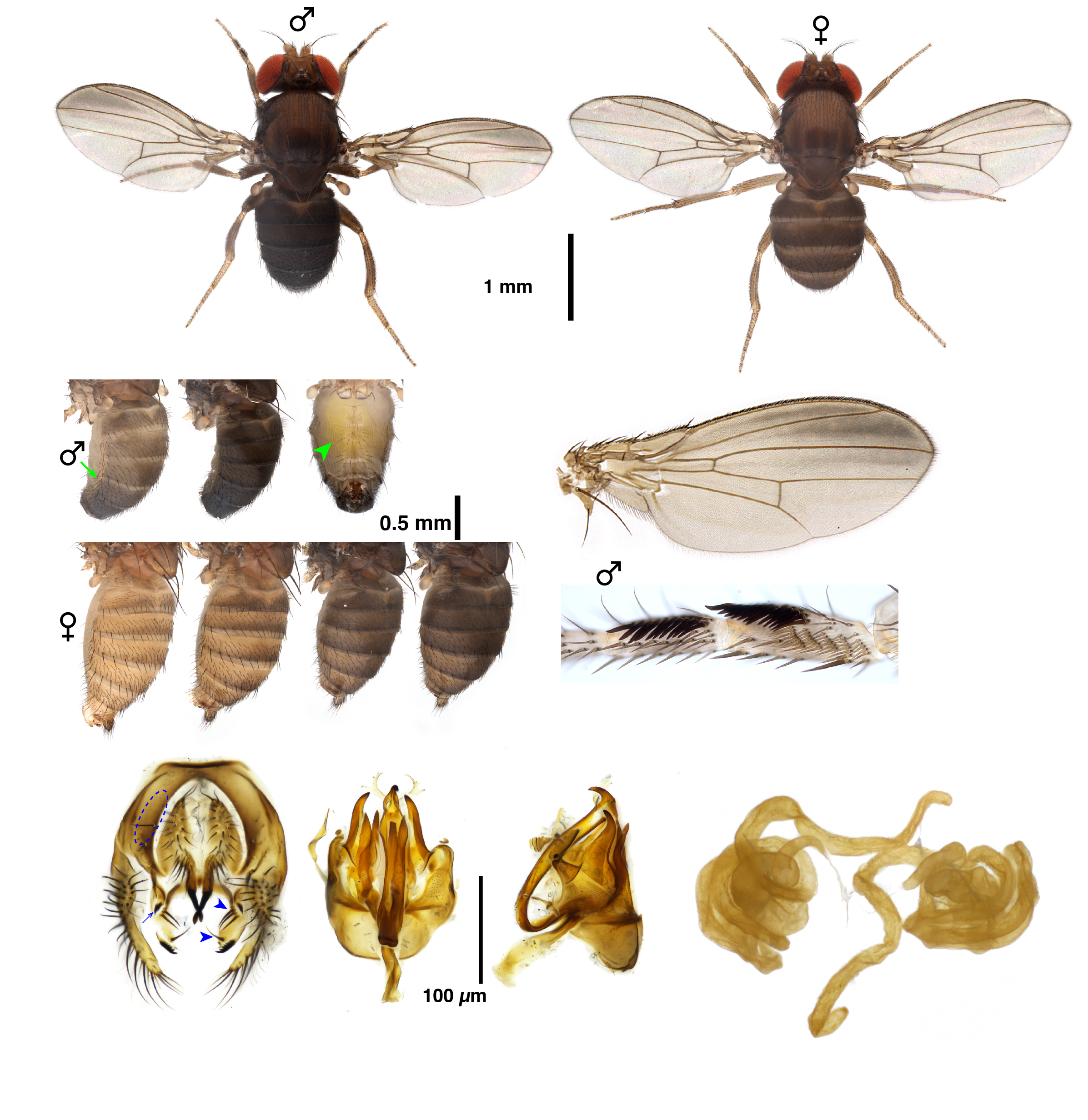 Drosophila carrolli