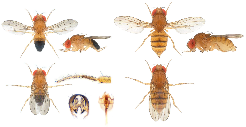 Drosophila (Sophophora) eugracilis-NCBSisoFline09_plate_small