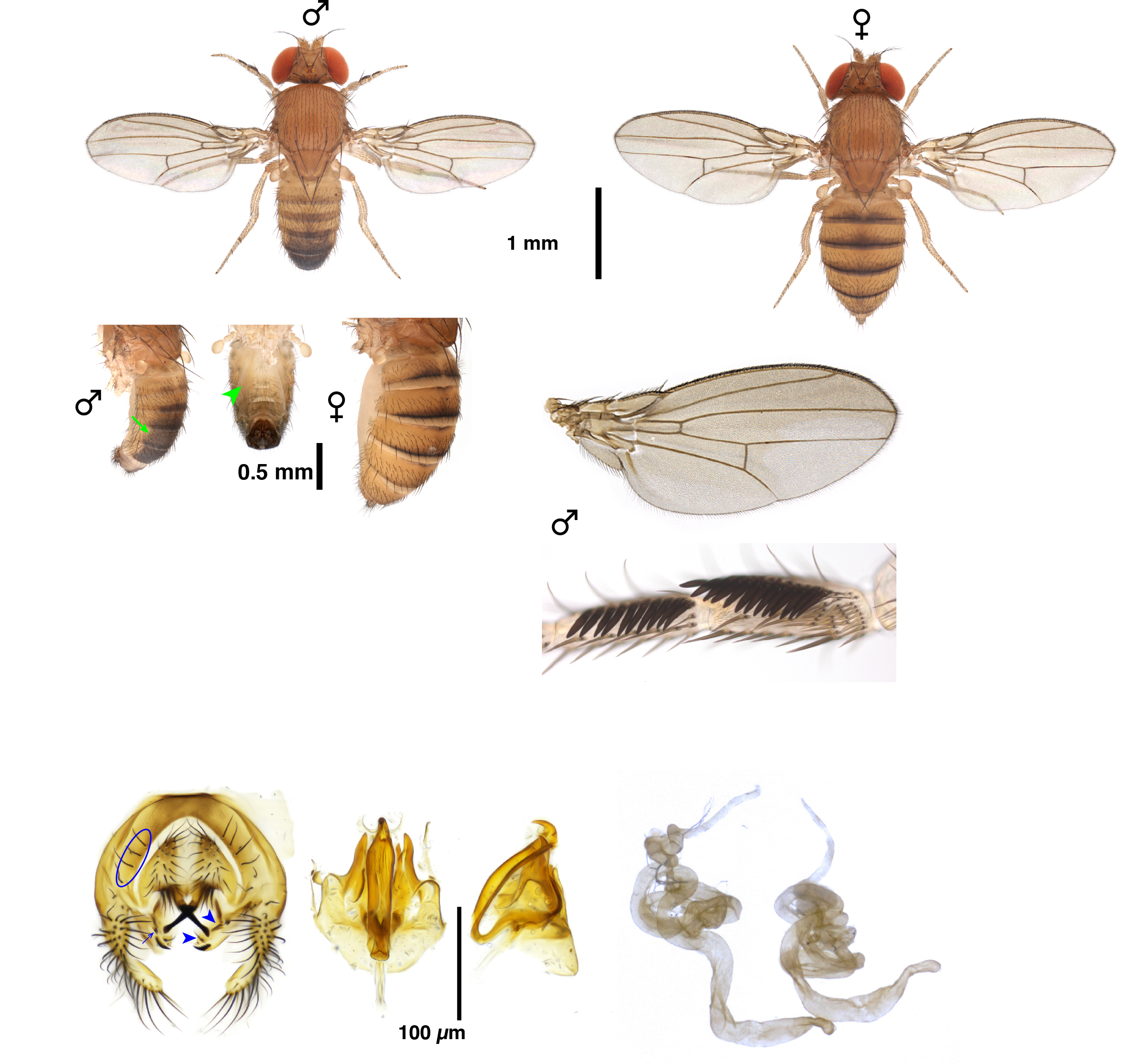 Drosophila rhopaloa