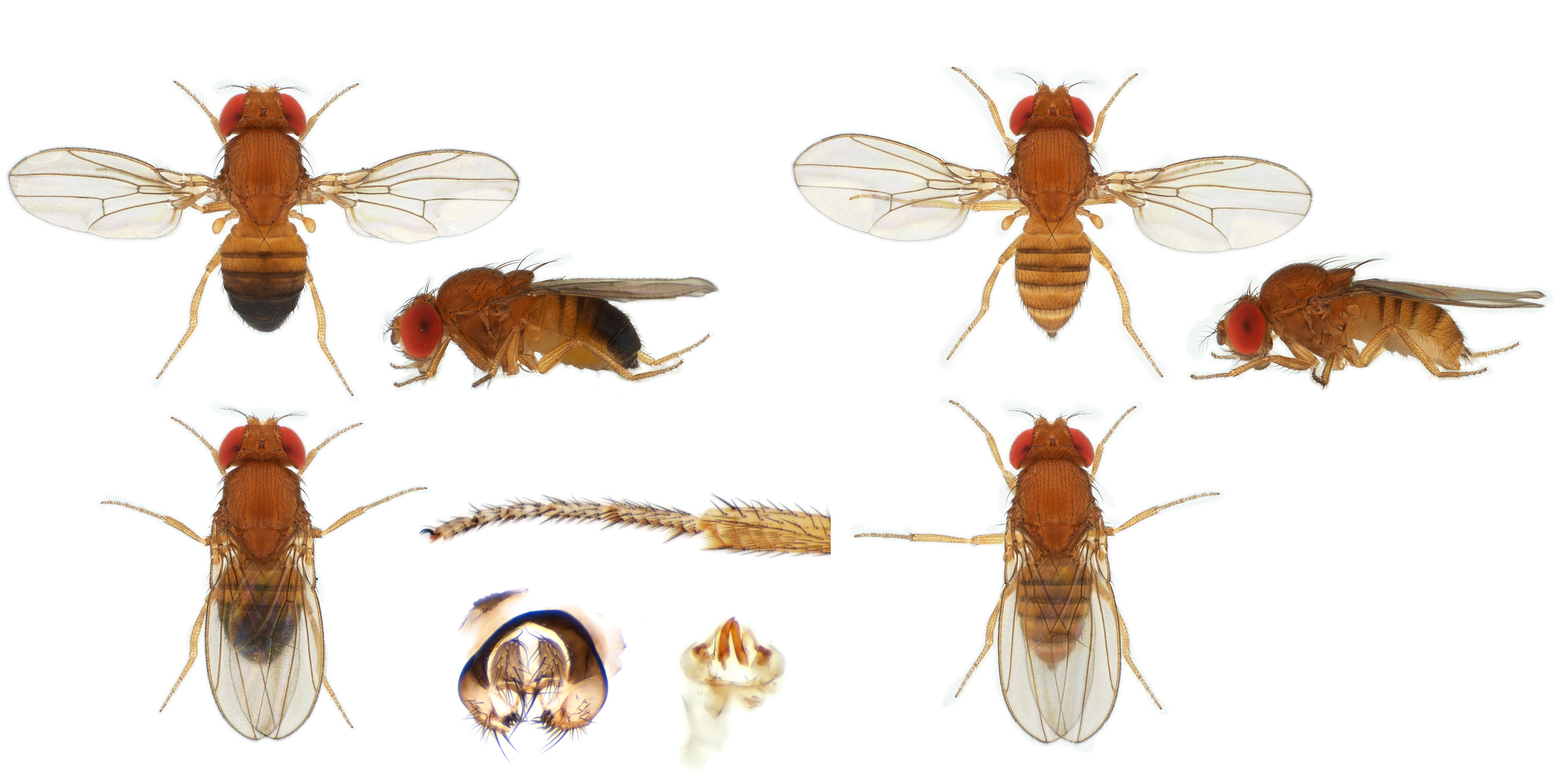 Drosophila (Sophophora) sp01-NCBSisoFline01_plate_small