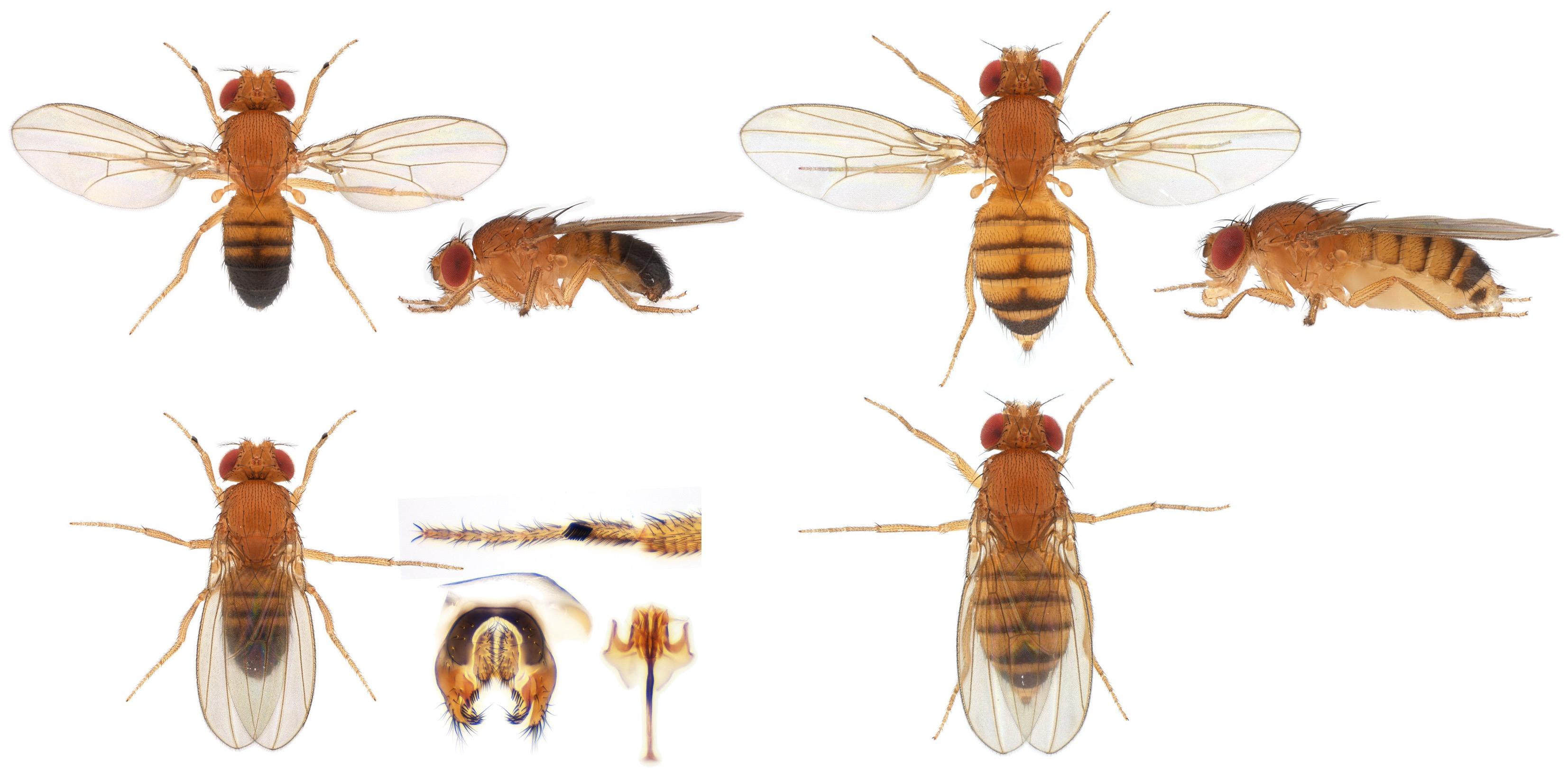 Drosophila melanogaster-NCBSisoFline01_plate_small