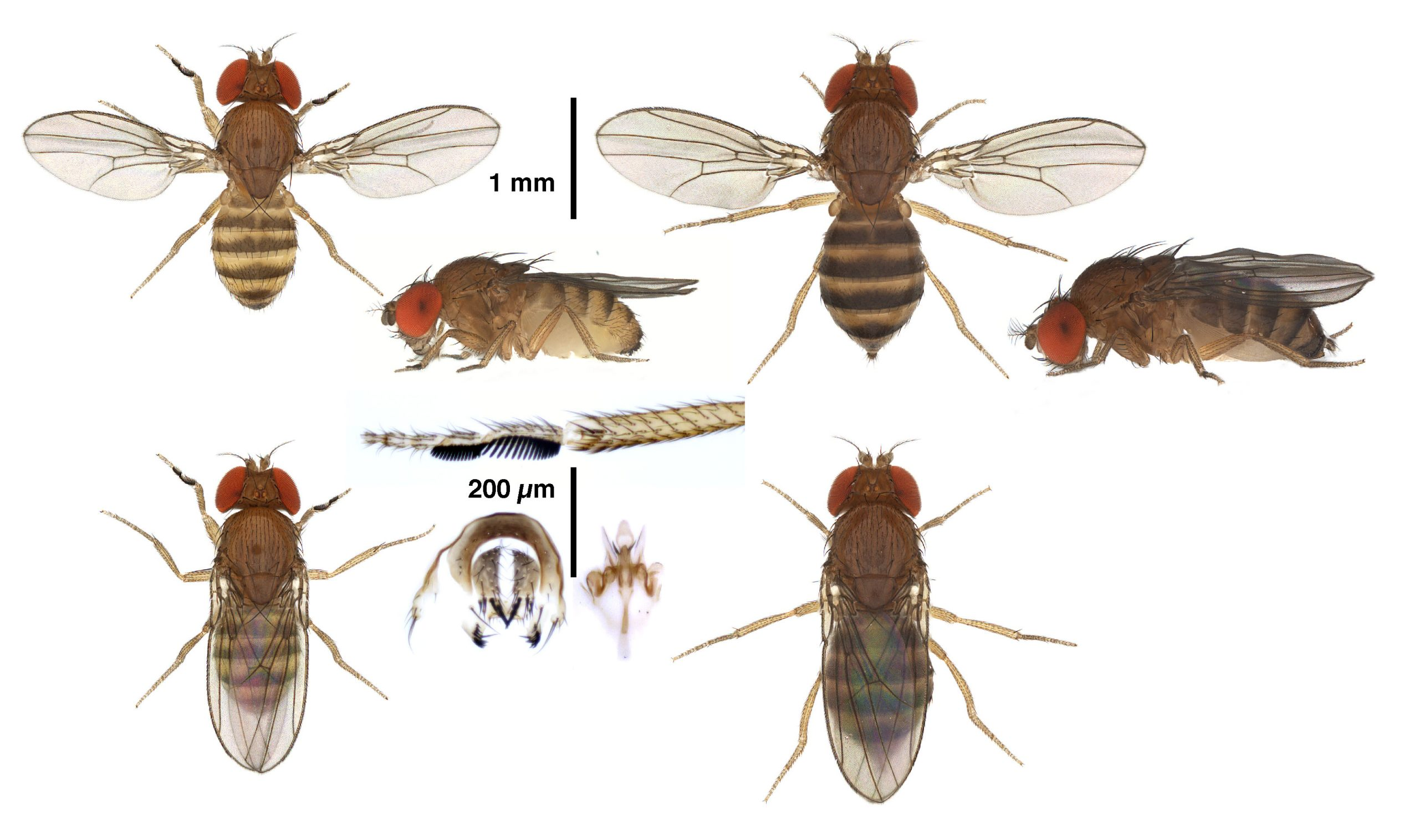 Drosophila-mylenae_plate-scaled