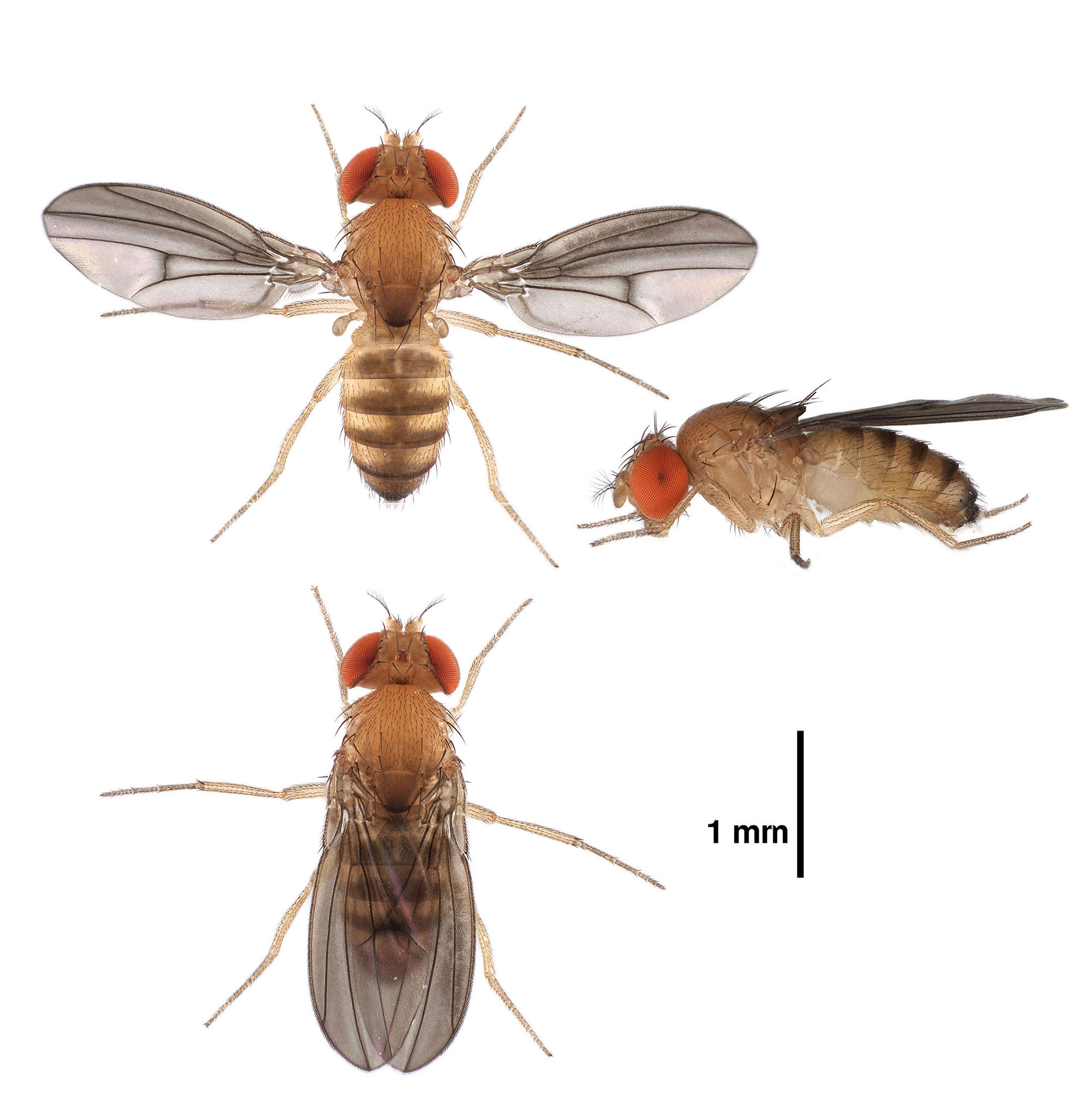 Drosophila nebulosa