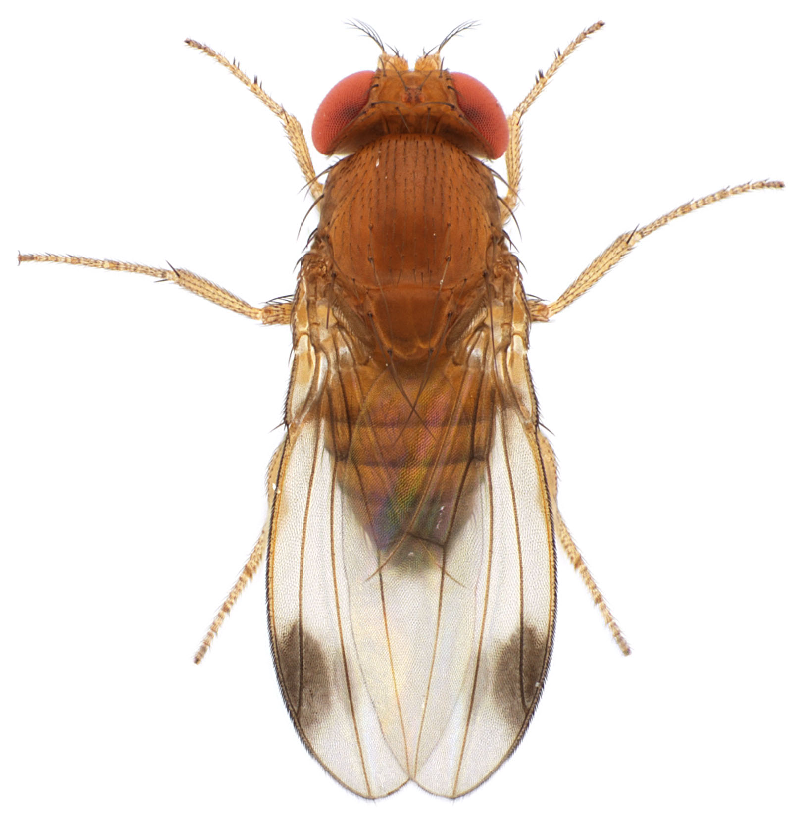 Drosophila pulchrella male 1x12,5 dorsal-enhanced