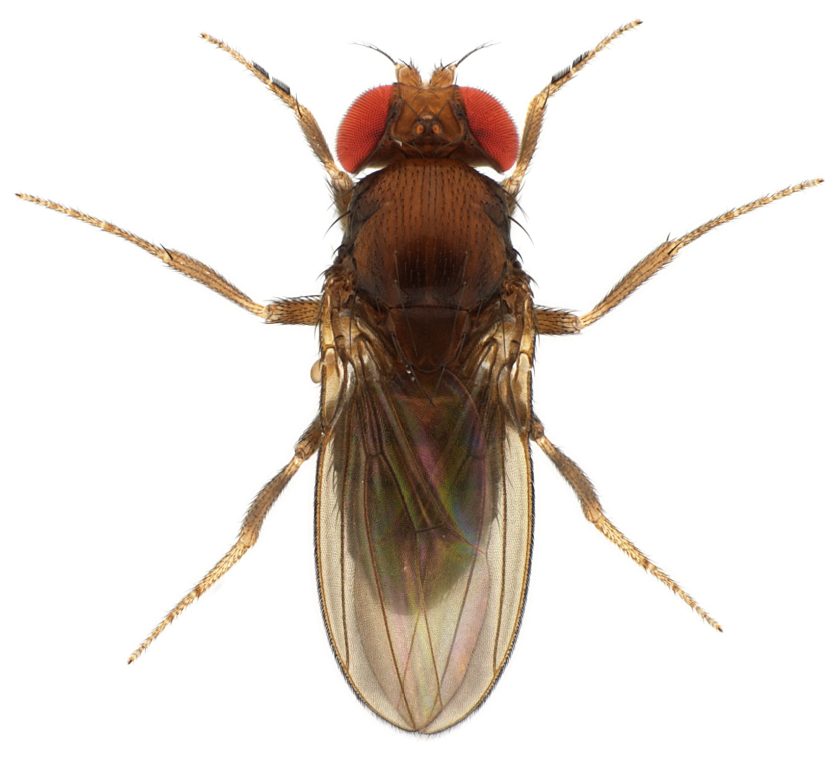 Drosophila rhopaloa KB866 male 1x10 dorsal-enhanced