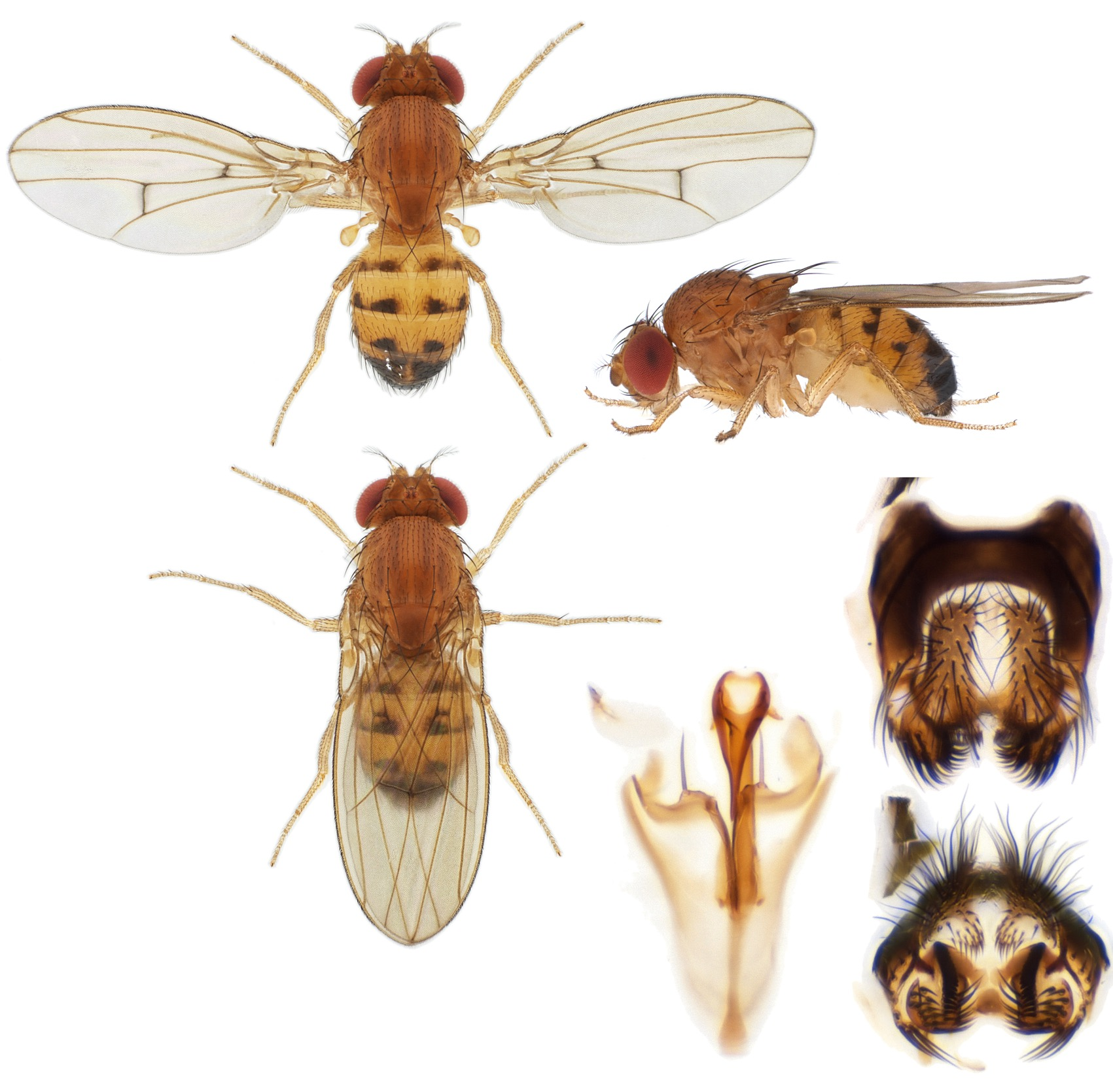 Drosophila sp-Valleraugue_small