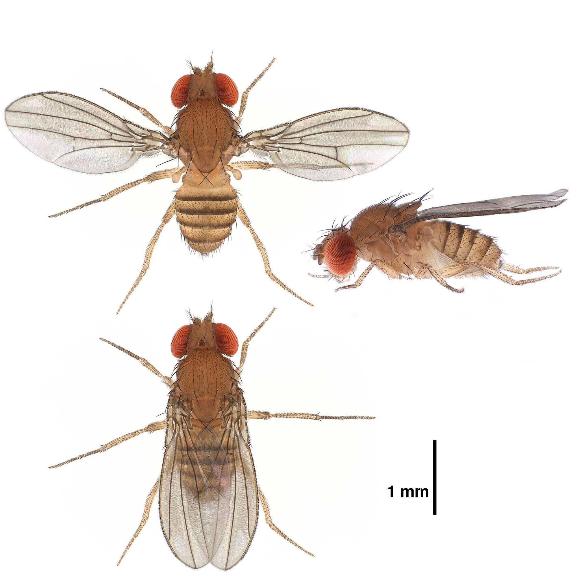 Drosophila sucinea