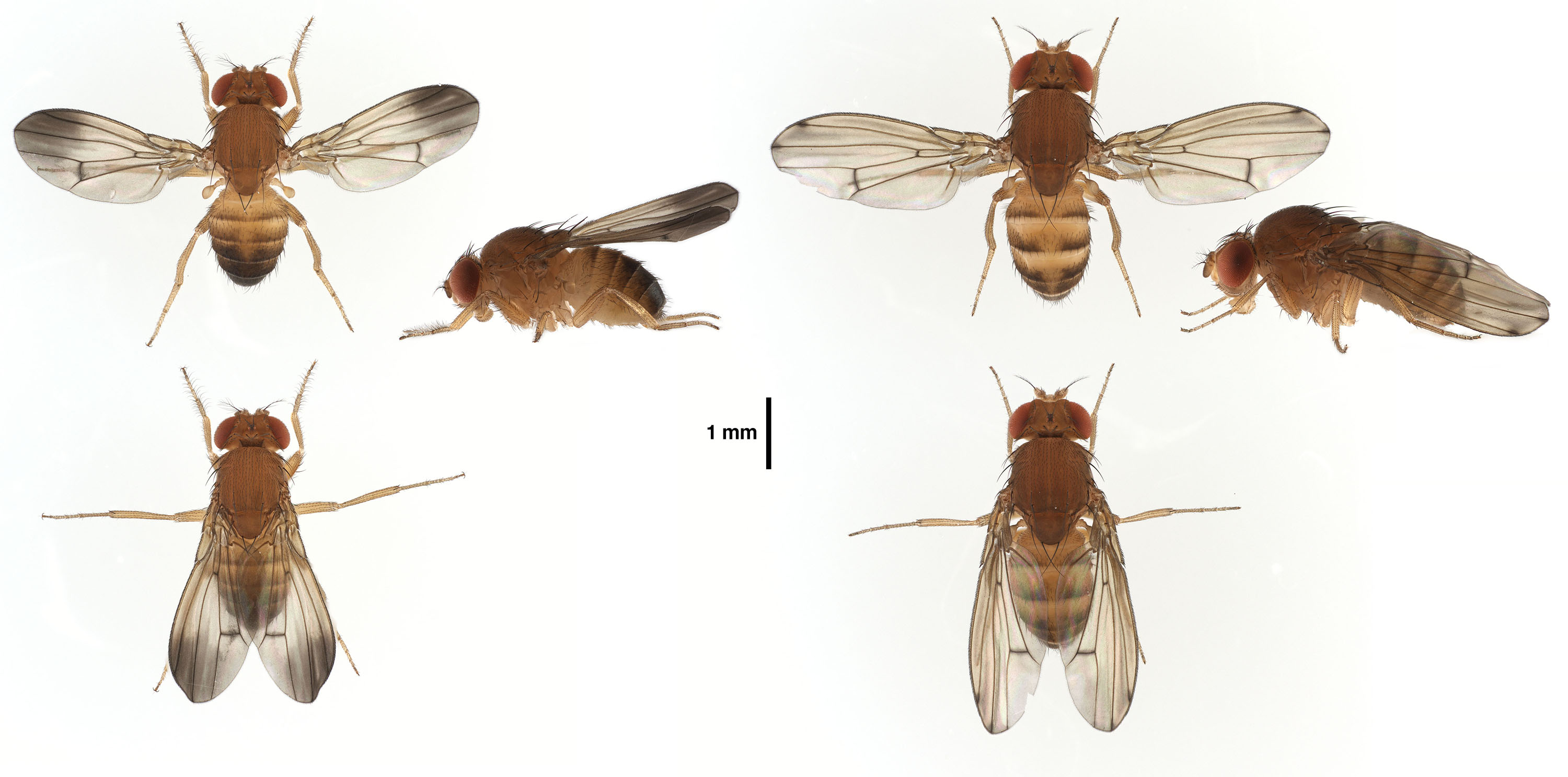 Drosophila ustulata