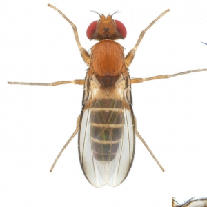 Chymomyza-costata-male_small