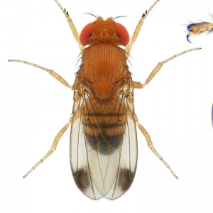 Drosophila (Sophophora) biarmipes-NCBSisoFline11_small