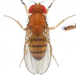 Drosophila (Sophophora) jambulina-NCBSisoFline01_plate_small