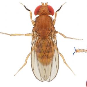 Drosophila (Sophophora) kikkawai-NCBSisoFline02_plate_small