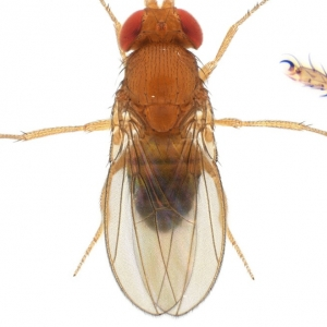 Drosophila (Sophophora) malerkotliana-isofemale line01_plate_small