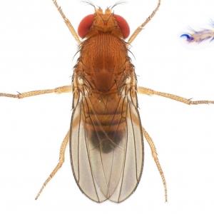 Drosophila (Sophophora) takahashii-NCBSisoFline01_plate_small