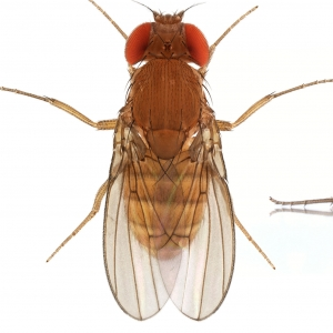 Drosophila-albomicans_male
