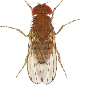 Drosophila immigrans_plate_small