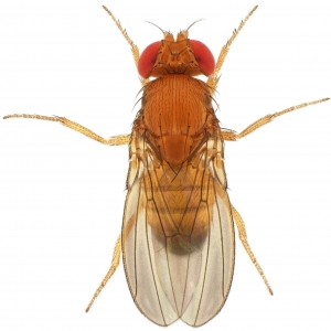 Drosophila lutescens male 1x12,5 dorsal-enhanced
