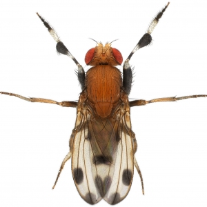 Drosophila prolongata male 1x8 dorsal