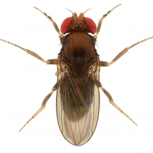 Drosophila rhopaloa KB866 male 1x10 dorsal-enhanced