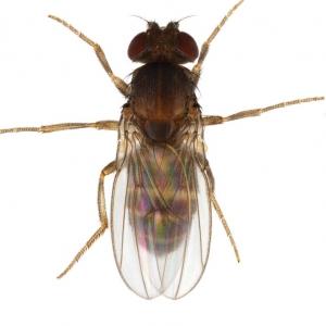 Scaptodrosophila lebanonensis_plate_small