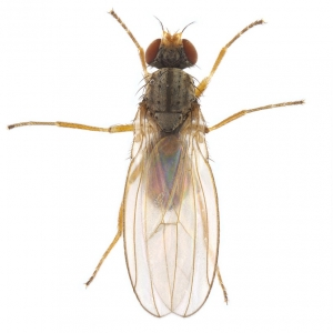 Scaptomyza pallida male_small