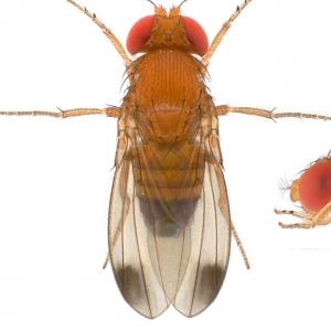 Drosophila (Sophophora) suzukii (Lyon)_plate_small