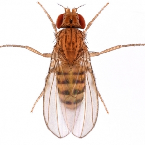 Drosophila buskii_ 1x16_plate_small
