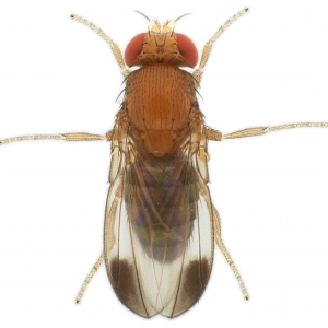 Drosophila elegans HK-iso1 genome male 1x12,5 dorsal-enhanced
