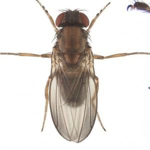 Drosophila tristis_line01