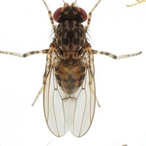 Phortica variegata_small