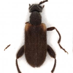 Elonus mexicanus (Champion, 1893) – type