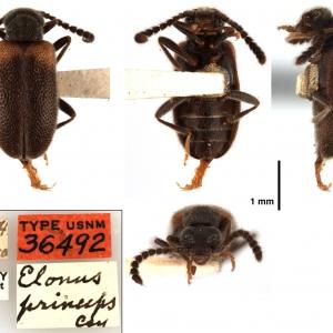 Elonus basalis (LeConte, 1855)