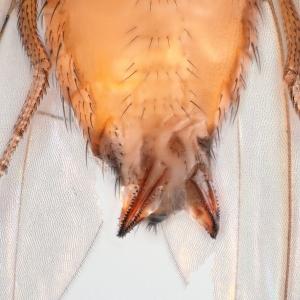 double ovipositor suzukii_small