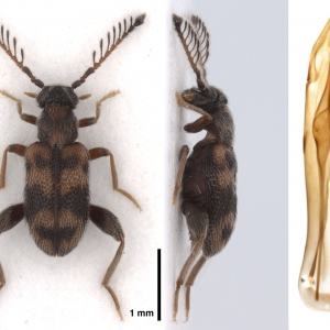 NG18952 Emelinus breviramus
