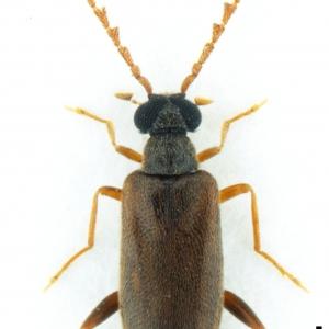 NG17137 Euglenes pygmaeus