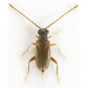 NG3369-Euglenes-oculatus_thumb
