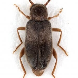 Hylobaenus varicornis Champion, 1916 (female)
