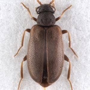 Pseudoanidorus sp. (female)