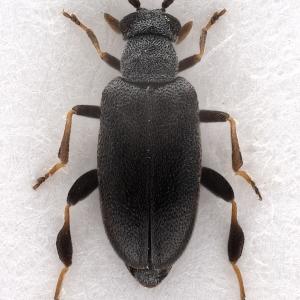Pseudoanidorus laesicollis (Fairmaire, 1884) (male)