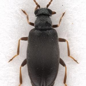 Pseudoanidorus laesicollis (Fairmaire, 1884) (female)