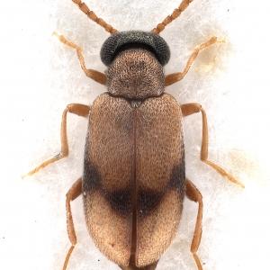 Vanonus unifasciatus (Champion, 1890) (male)