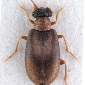 Vanonus prope_dryophiloides (Champion, 1916) (female)