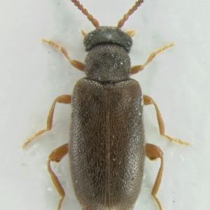Vanonus brevicornis (Perris, 1869)