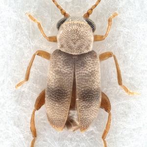 Xylophilus egregius (Champion, 1915) (male)