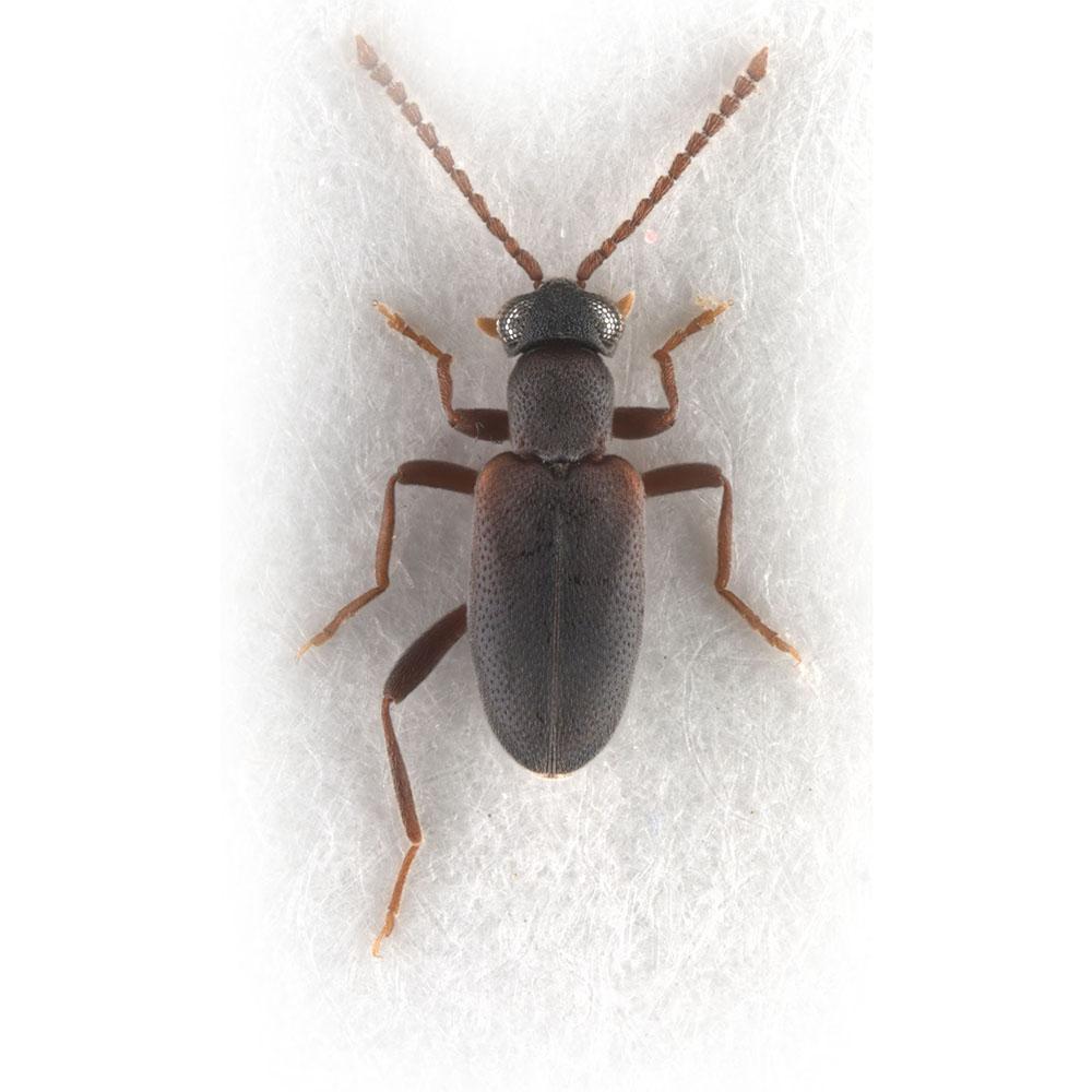 Zarcosia sp.