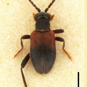 NGo1512 Hylophilus bipartitus_Mount