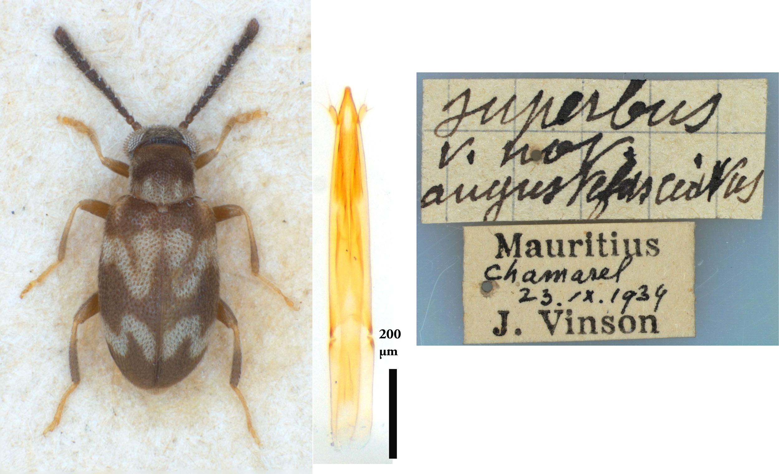 NG1403 Mixaderus angustifasciatus type
