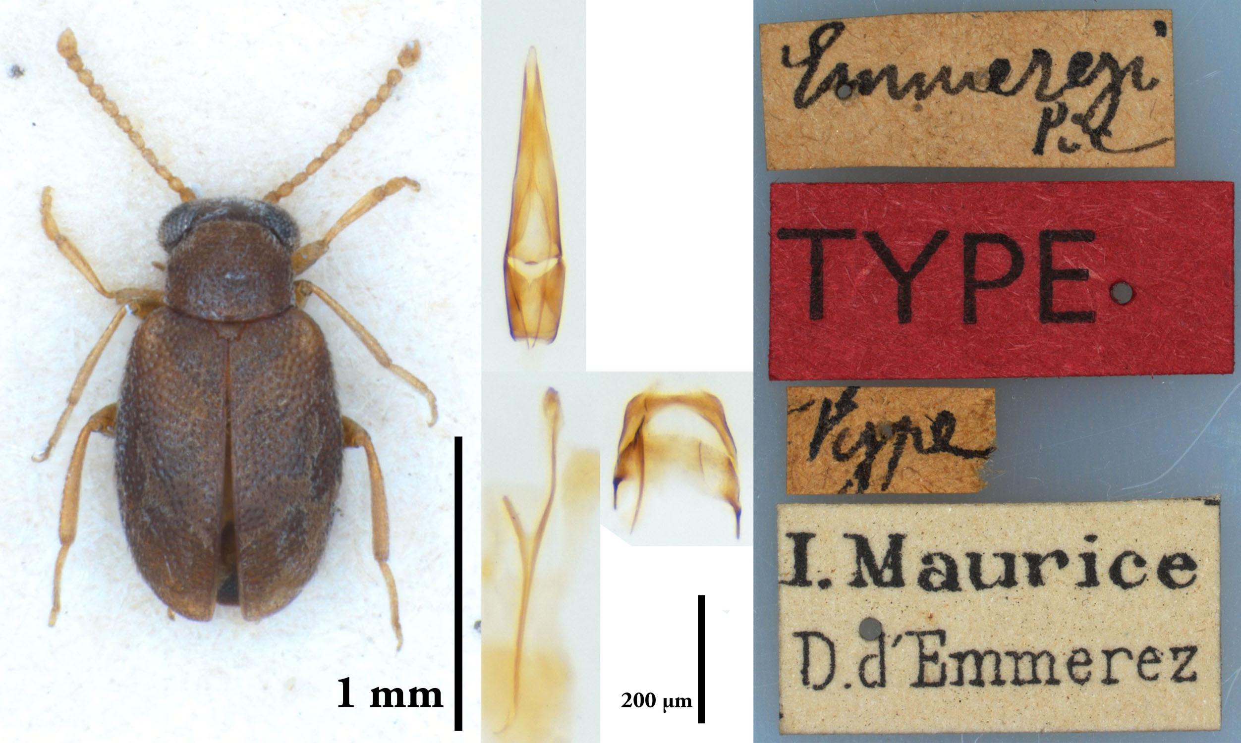NGo1452 Mixaderus emmerezi type